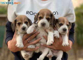 Mua, Bán Chó Beagle Tháng 2/2019. Miễn Phí Vận Chuyển Toàn Quốc
