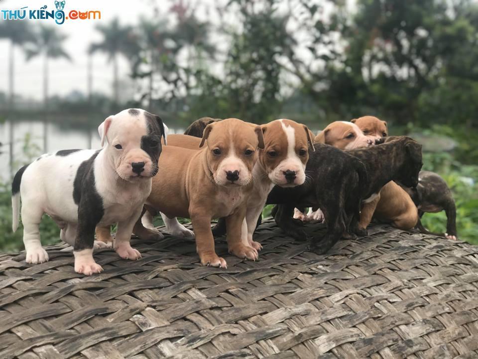 Mua chó Pitbull ở đâu? Shop bán chó Pitbull ở Hà Nội, TPHCM