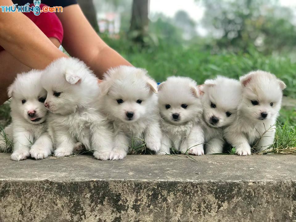 Mua chó Phốc Sóc ở đâu? Shop bán chó phốc sóc ở Hà Nội, TPHCM