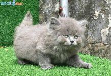 Mua, Bán Mèo Anh Tháng 4/2019. Miễn Phí Vận Chuyển Toàn Quốc
