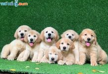 Bán Chó Golden. Những Điều Cần Biết Trước Khi Mua Chó Golden