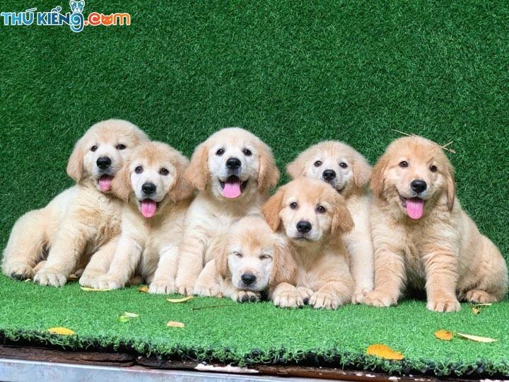 Mua chó Golden giá bao nhiêu tiền? Giá bán chó Golden Hà Nội, TPHCM