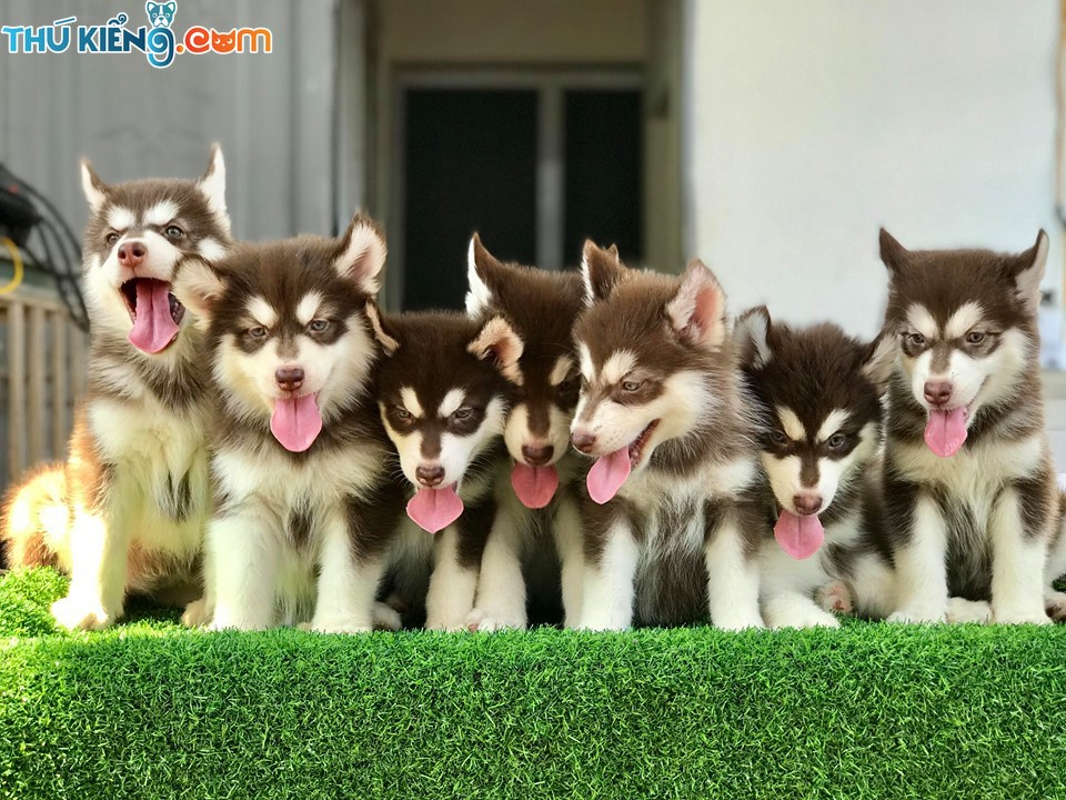 Bảng giá chó Alaska nhỏ. Mua chó Alaska giá bao nhiêu?