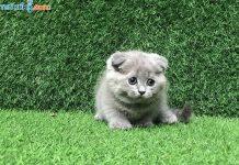 Mua, Bán Mèo Scottish Tháng 6/2019. Miễn Phí Vận Chuyển Toàn Quốc