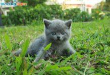 Mua, Bán Mèo Anh Tháng 7/2019. Miễn Phí Vận Chuyển Toàn Quốc