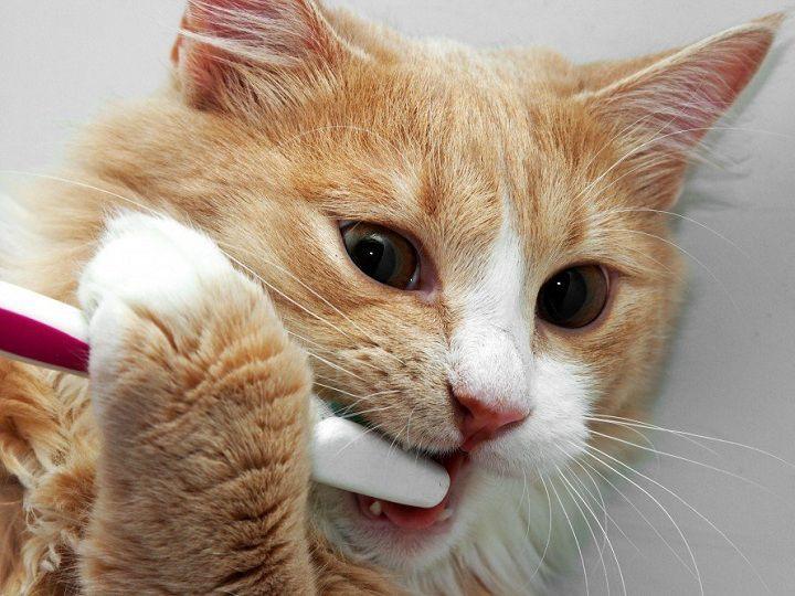 Cách đánh răng cho mèo. Cách chọn bàn chải, kem đánh răng cho mèo
