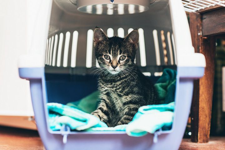 Cách nuôi mèo con mới về nhà. Cách giúp mèo làm quen nhà mới