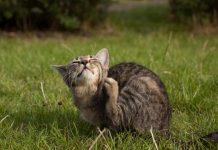 Rận mèo có lây sang người không? Các loại thuốc trị rận cho mèo
