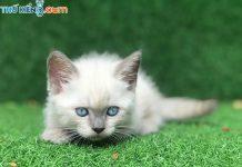 """🔥💖 Mèo ALN_Lông_Trắng_Mắt_Xanh - Đẹp """"Ma Mị"""" 👻😮"""