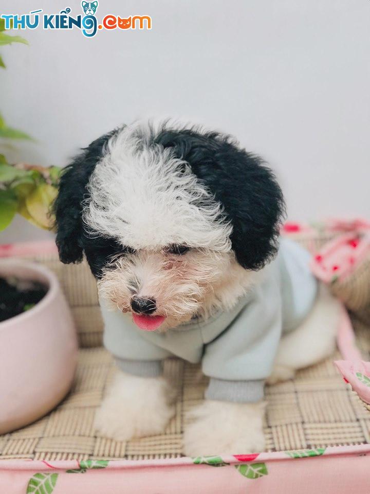 ❄️ Trời trở lạnh Poodle mặc thêm áo ấm 🥰😘