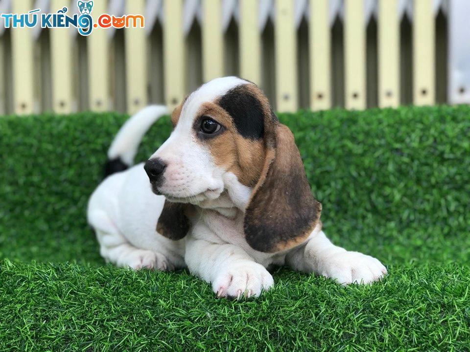 🥰 Các cháu Beagle Super Model nhà mình ạ 😘😘