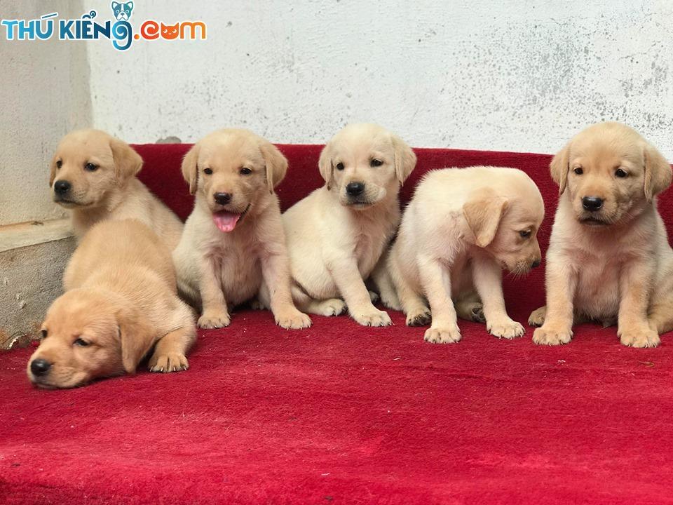 💝🎁 TẶNG NGAY bộ phụ kiện chăm sóc cún từ đầu đến *ít Trị Giá 1050k ✅ khi mua các bé Lab trước ngày 20/11 🥰😘