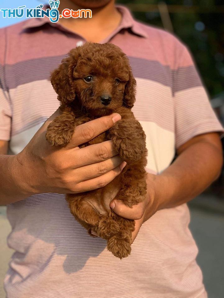 😍 Các cháu Poodle Nâu Đỏ lông xoăn, dày rất là cute 😘