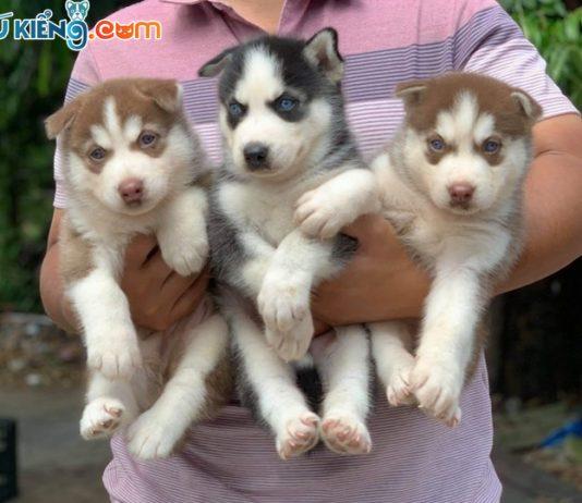 😍 Các cháu Husky mắt xanh siêu đẹp chào mùa Đông ❄️😘