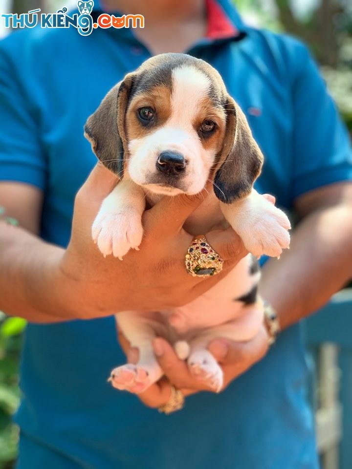 😍 Đàn Beagle Săn Thỏ rất là cute đây 😘