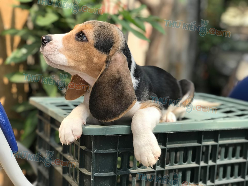 😍 Các Cháu Beagle chuẩn mực sắp xuất chuồng
