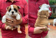Mua bán chó Bulldog Anh 2 tháng tuổi năm 2020. Bán trả góp lãi suất 0%