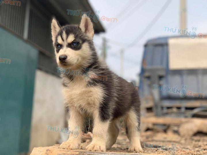 Mua bán chó Husky đen trắng, xám trắng mắt xanh 2 tháng tuổi năm 2020