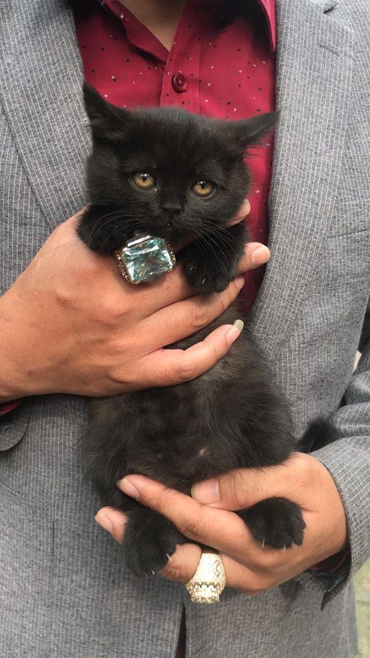 Mua bán mèo Anh Lông Ngắn - Aln con 2 tháng tuổi năm 2020