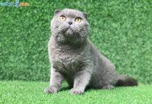Mua bán mèo Scottish tai cụp con 2 tháng tuổi 2020. Bảo Hành 180 Ngày