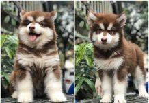 Mua chó Alaska ở đâu tại TPHCM? Bán chó Alaska tại Sài Gòn