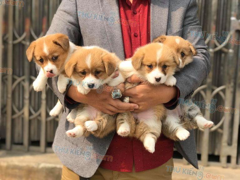 Bán chó Corgi Chân Ngắn 2 Tháng Tuổi năm 2020. Trả Góp Lãi Suất 0%