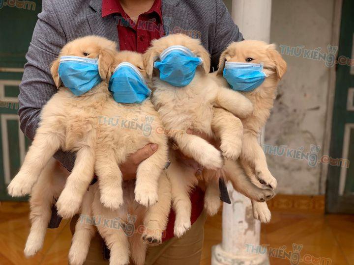 Mua bán chó Golden con 2 tháng tuổi năm 2020. Bảo hành tới 180 ngày
