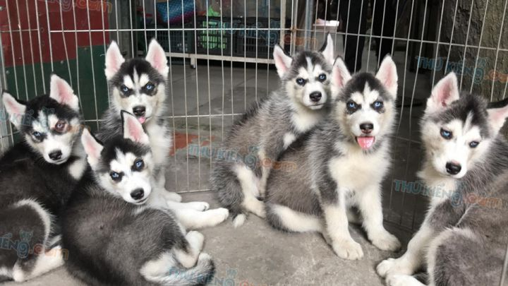 Mua bán chó Husky đen trắng mắt xanh 2 tháng tuổi 2020. BH 180 ngày