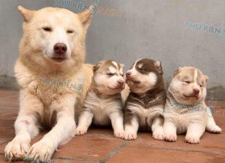 Mua bán chó Husky Nâu Đỏ con 2 tháng tuổi 2020. Trả góp lãi suất 0%