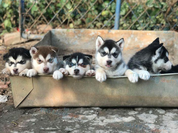 Mua bán chó Husky đen trắng, Husky nâu đỏ 2 tháng tuổi 2020