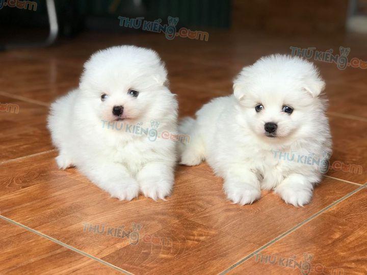 Mua bán chó Pom, Phốc Sóc trắng con 2 tháng tuổi 2020. BH 180 ngày