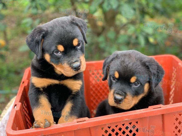 Mua bán chó Rottweler con 2 tháng tuổi 2020. Bảo Hành tới 180 ngày