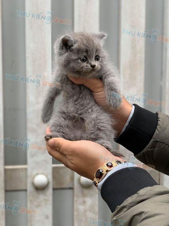 Mua bán mèo Scottish tai cụp 2 tháng tuổi 2020. Bán trả góp lãi suất 0%