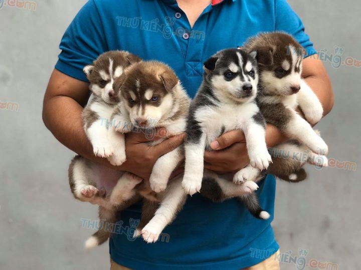 Mua bán chó Husky nâu đỏ con 2 tháng tuổi 2020. BH 1 Đổi 1 180 Ngày