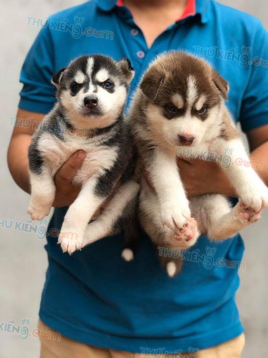 Mua bán chó Husky nâu đỏ, đen trắng mắt xanh năm 2020. BH 180 Ngày