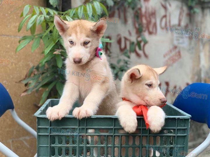 Mua bán chó Husky nâu đỏ con 2 tháng tuổi năm 2020. BH tới 180 Ngày