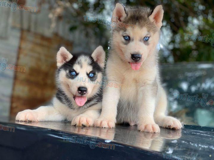 Mua bán chó Husky đen trắng, xám trắng mắt xanh 2020. BH 180 ngày