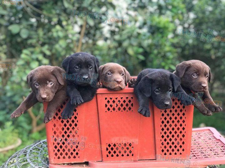 Mua bán chó Labrador đen, Lab chocolate con 2 tháng tuổi năm 2020