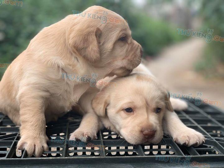 Mua bán chó Labrador bạch kim con 2 tháng tuổi năm 2020. BH 180 ngày