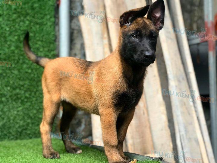 Mua bán chó Malinois Béc Bỉ con 2 tháng tuổi năm 2020. BH tới 180 ngày