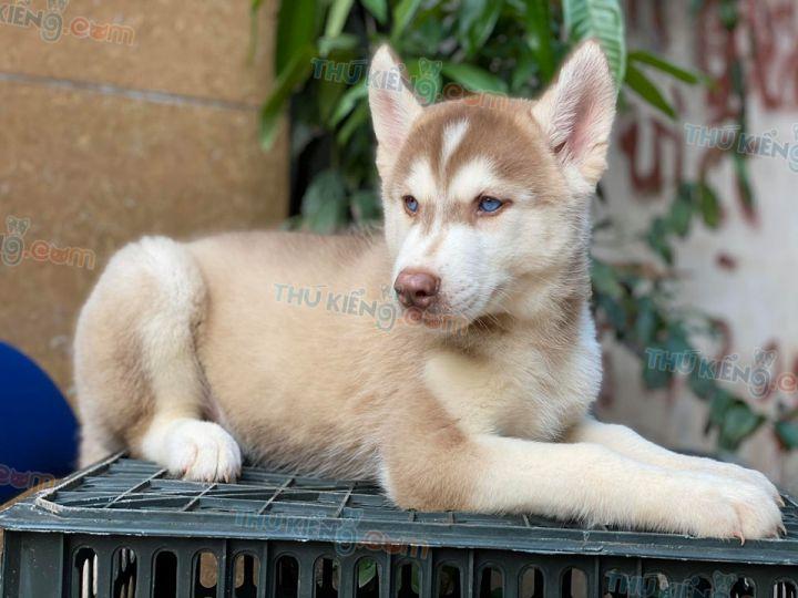 Mua bán chó Husky nâu đỏ, phấn hồng mắt xanh con 2 tháng tuổi 2020