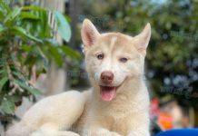 Mua bán chó Husky tại Hà Nội. Nơi bán chó Husky tại Hà Nội uy tín nhất