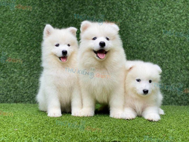 Mua bán chó Samoyed trắng tuyết 2 tháng tuổi năm 2020. Giảm 1 Triệu