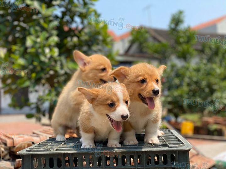 Mua bán chó Corgi chân ngắn con 2 tháng tuổi 2020. Bán Corgi Trả Góp