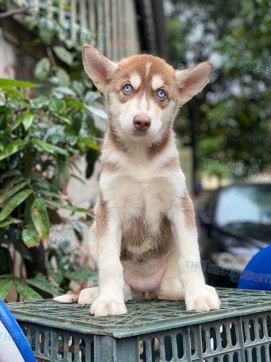 Mua bán chó Husky nâu đỏ, đen trắng mắt xanh con 2 tháng tuổi 2020
