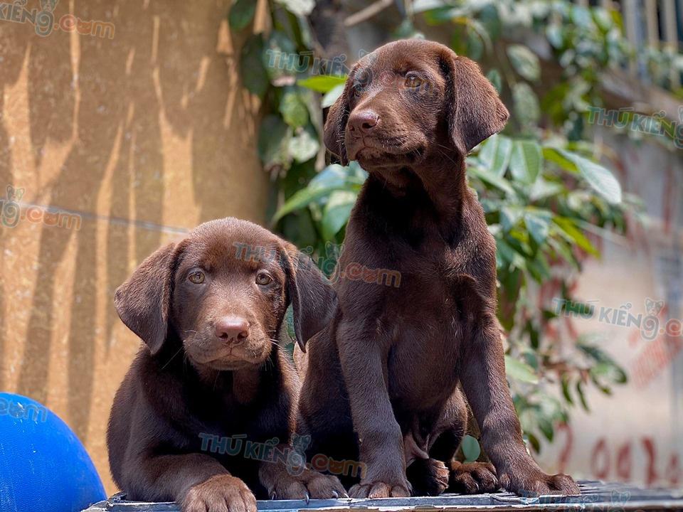 Mua bán chó Labrdor Nâu Chocolate con 2 tháng tuổi 2020. BH 180 Ngày