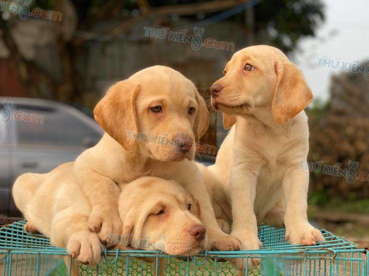 Mua bán chó Labrador vàng kim con 2 tháng tuổi năm 2020. BH 180 Ngày