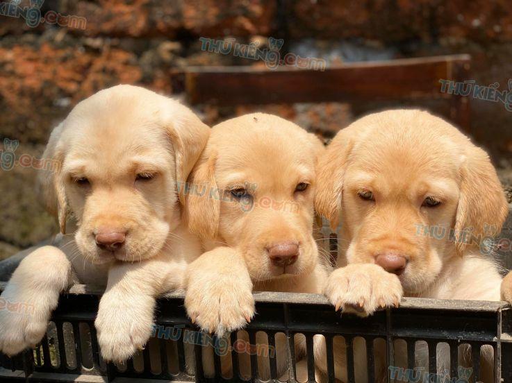 Mua bán chó Labrador vàng kim 2 tháng tuổi, trả góp tới 12 tháng 2020