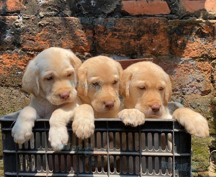 Giá chó Labrador. Giống chó Labrador bao nhiêu tiền? Mua bán chó Lab