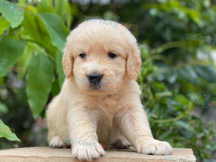 Mua bán chó Golden con 2 tháng tuổi năm 2020. Bán chó Golden trả góp